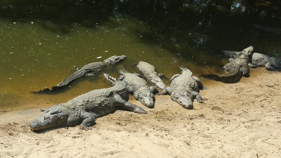 Teenager Jumped Into Crocodile Infested River To Impress Girl 869 crocodile 2003370 960 720